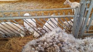 Net geschoren schapen Open Dag 2016